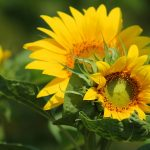 sunflower-547318_640
