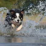 border-collie-667488_640