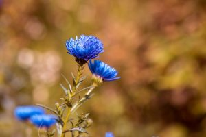 asters-1745959_640