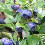 blueberries-2887933_640