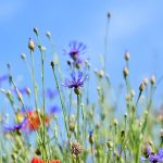 alpine-cornflower-3440640_640