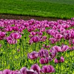 field-of-poppies-3415643_640