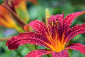 lily-3495722_640