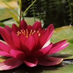 water-lily-3478924_640