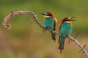 bee-eaters-3749679_640