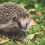hedgehog-3703244_640