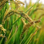in-rice-field-2679153_640