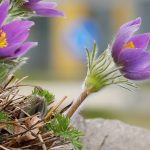 pasque-flower-3285226_640