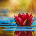 water-lily-3784022_640