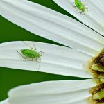 aphid-4243855_640