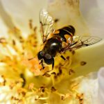hoverfly-4290339_640