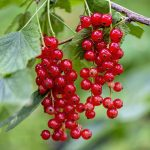 red-currant-4385121_640
