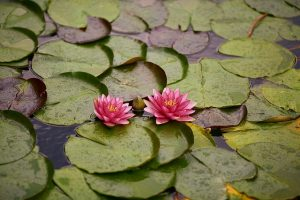 water-lily-4410471_640