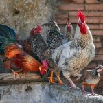 poultry-4745997_640