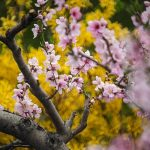cherry-blossoms-4852942_640